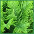 Dryopteris-affinis--Crispa.jpg