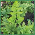 Dryopteris-goldiana.jpg