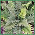 Polystichum-setiferum.jpg