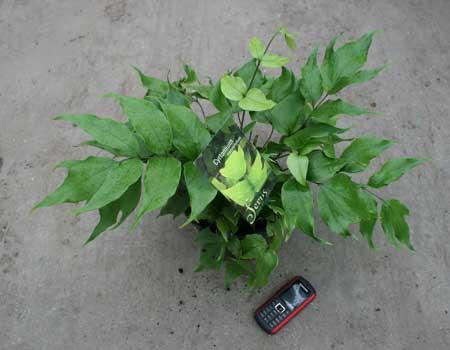 cyrtomium-macrophyllum.jpg
